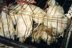 Battery_cage