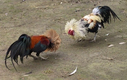 Cockfighting_2