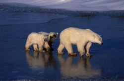 Polar_bear_pe