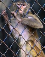Macaque_2