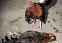 Cockfighting_2